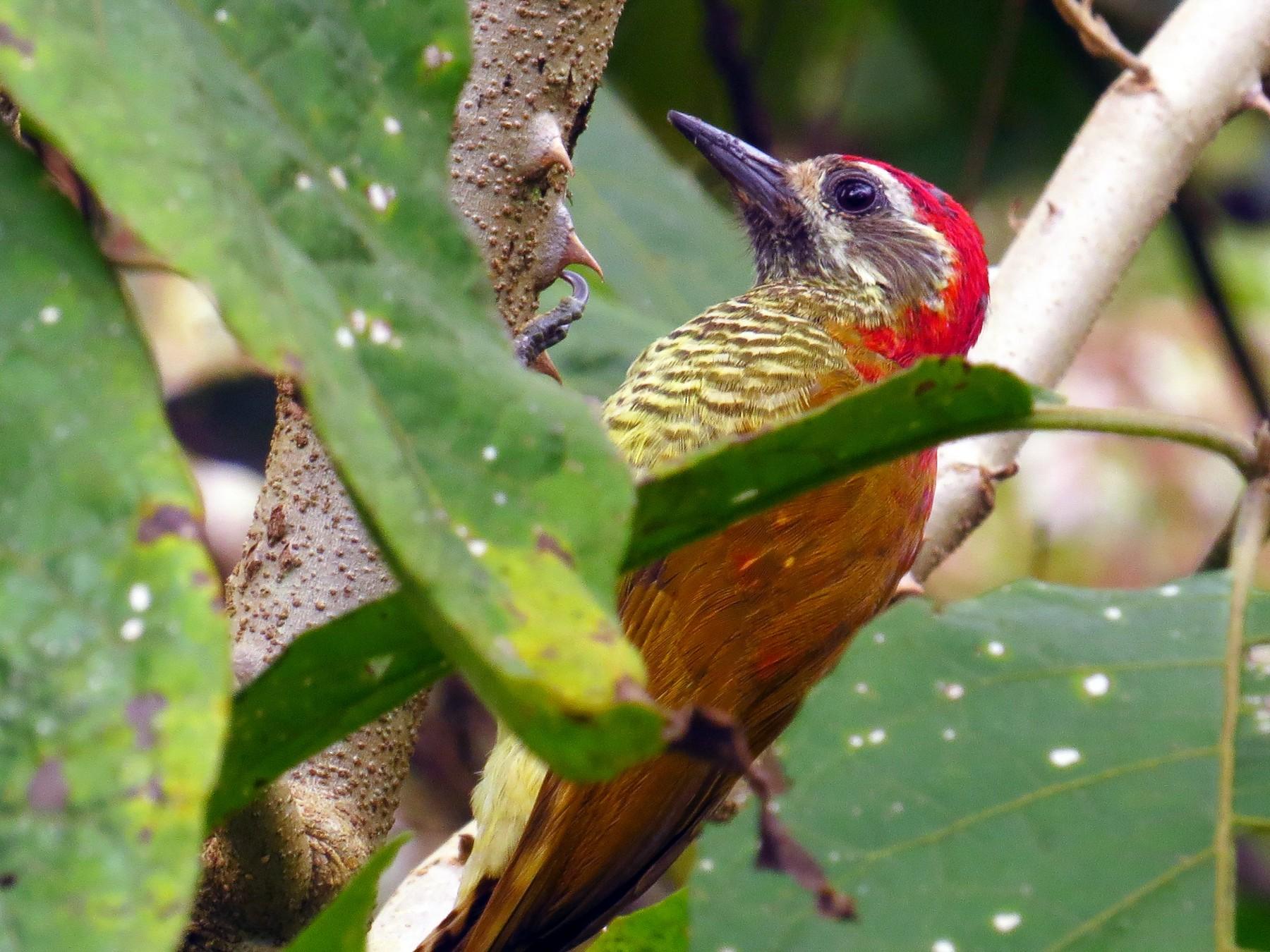 Yellow-vented Woodpecker - Jorge Muñoz García   CAQUETA BIRDING