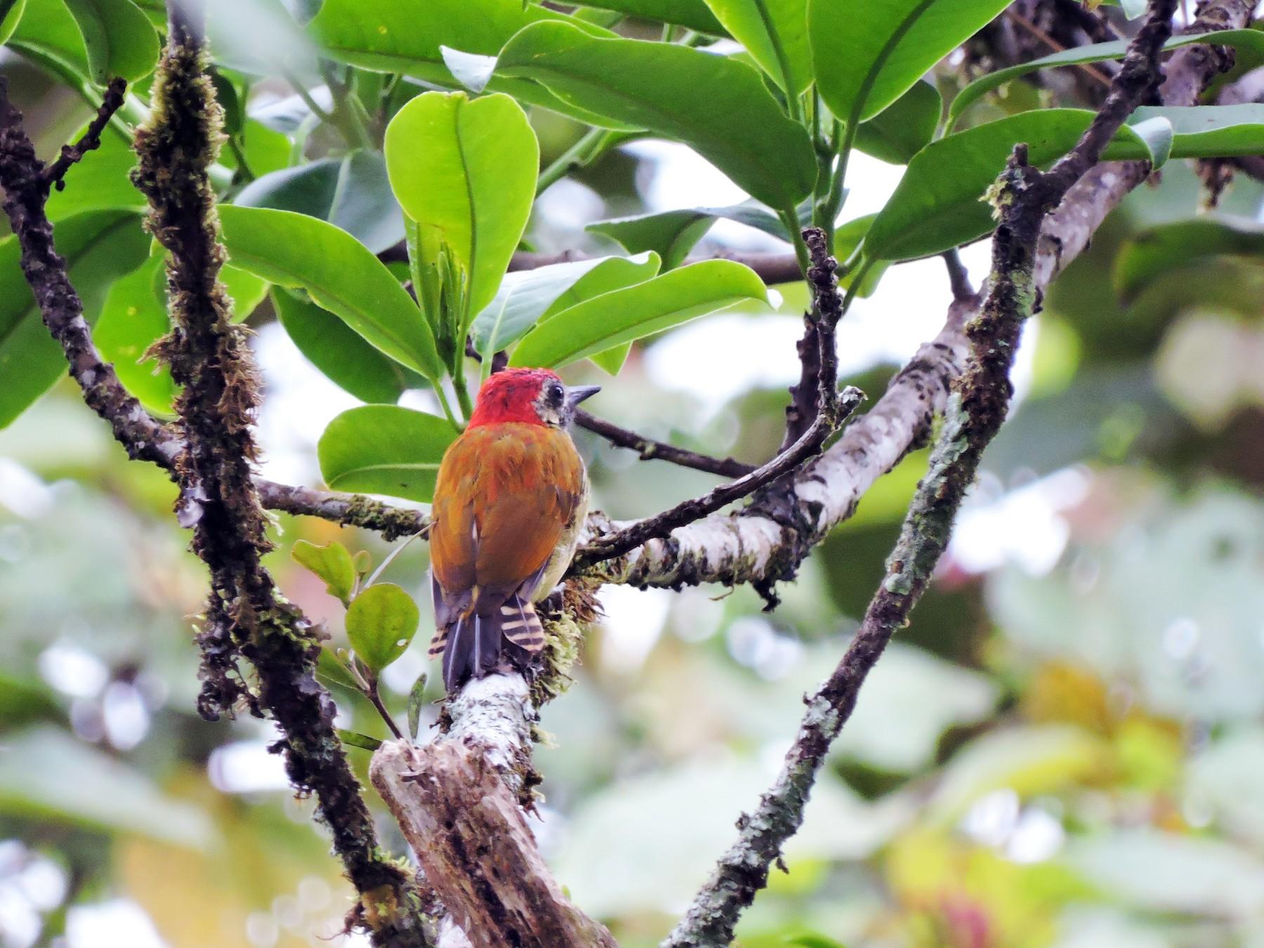 Yellow-vented Woodpecker - Edwin Munera
