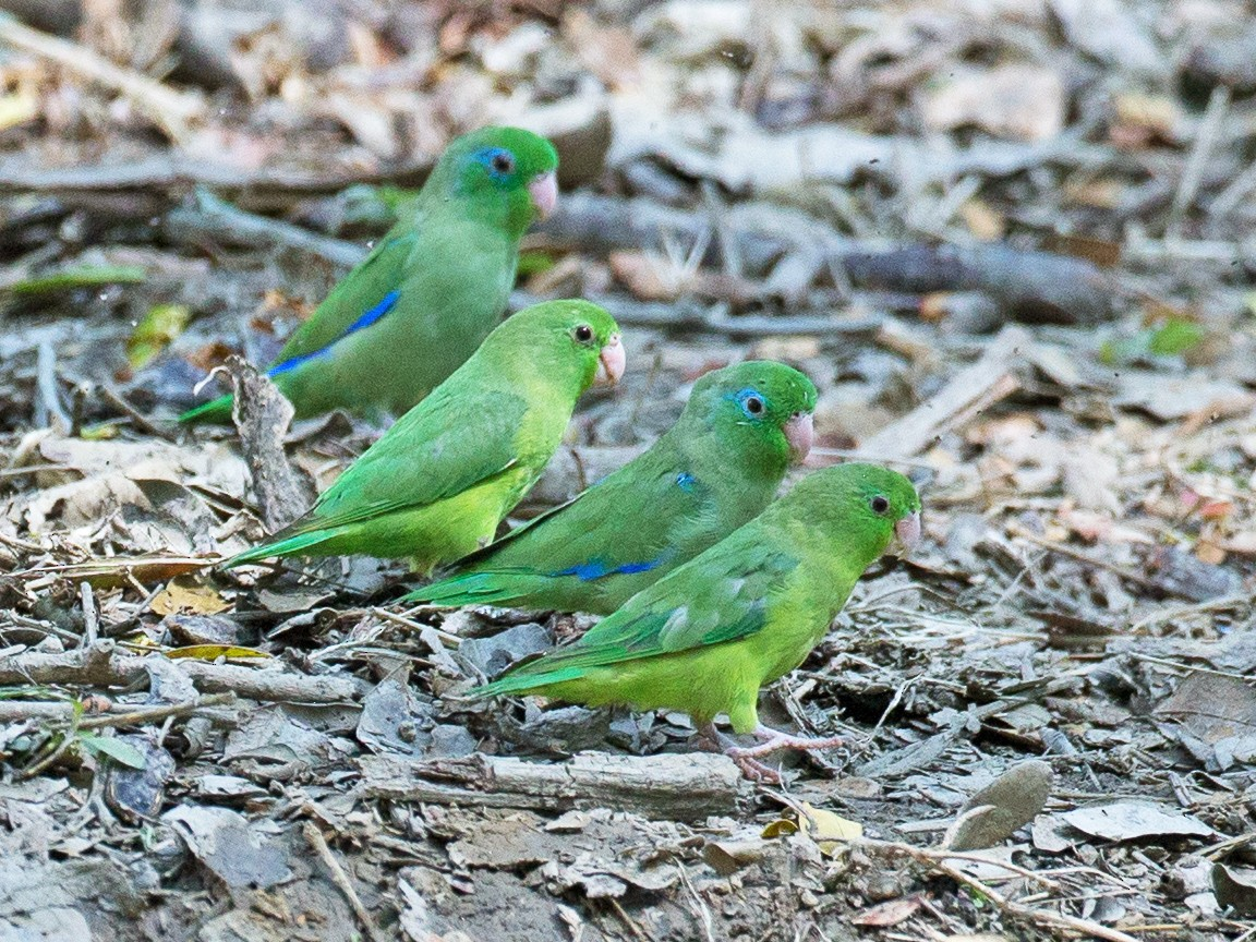 Spectacled Parrotlet - Chris Wood