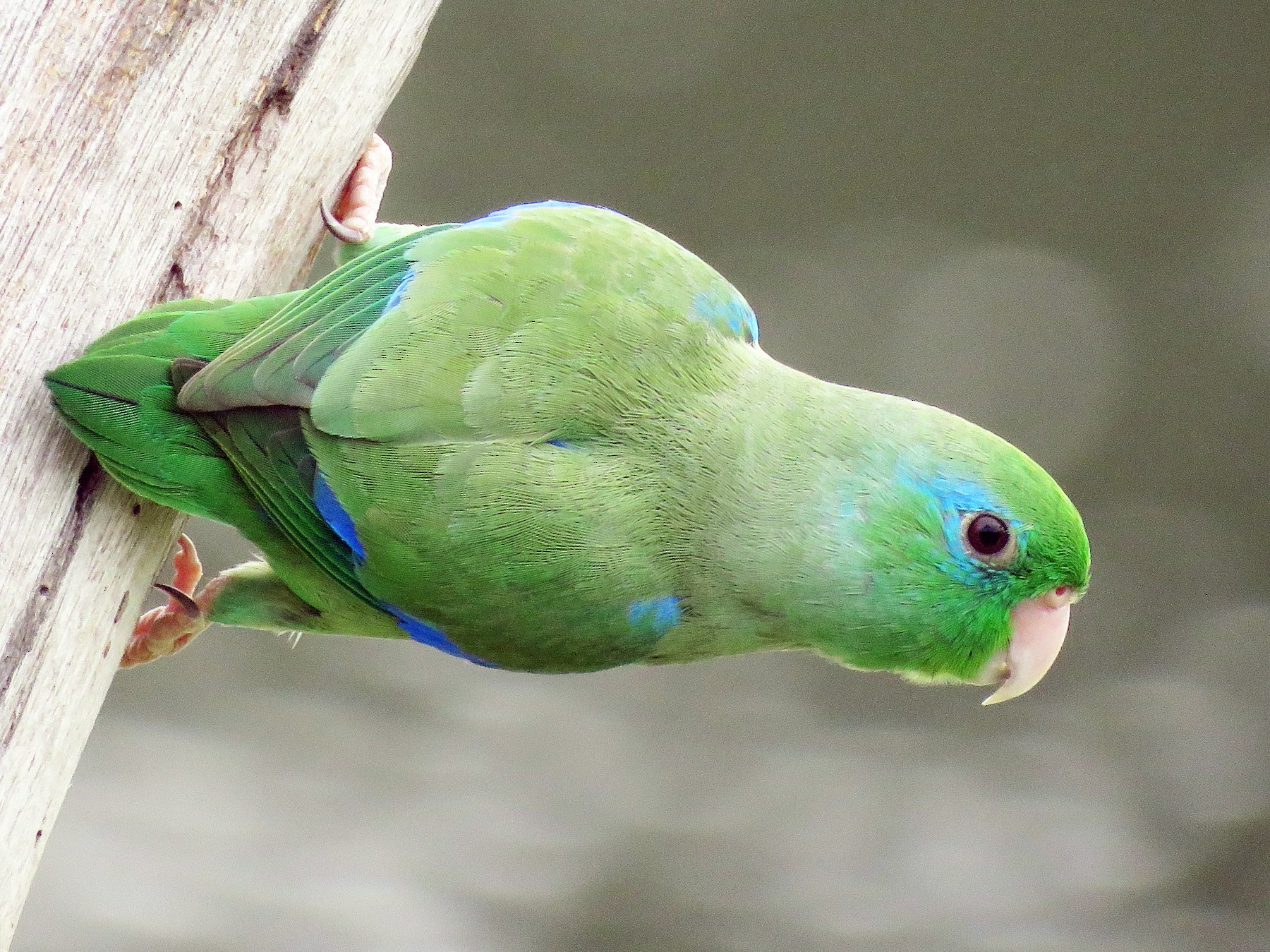 Spectacled Parrotlet - Juan Pablo Arboleda