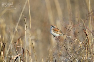 - Rufous-backed Bunting