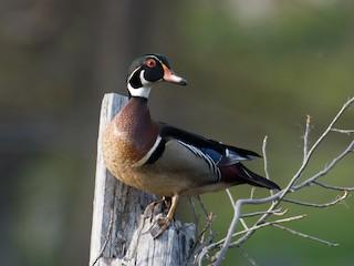 Wood Duck, ML56526741