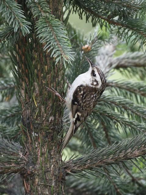 Hodgson's Treecreeper