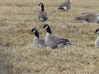 Cackling Goose, ML56583911