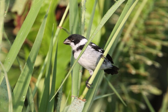 Wing-barred Seedeater