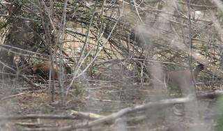 Red Spurfowl