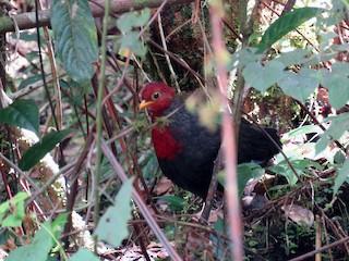- Crimson-headed Partridge