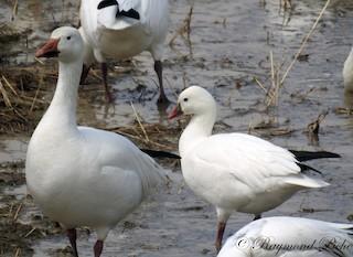 Ross's Goose, ML56627551