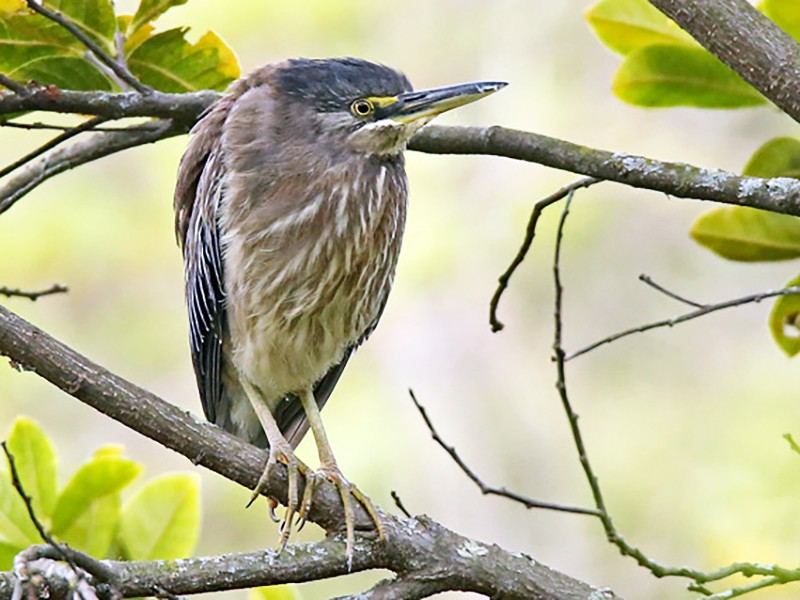 Striated Heron - Roger Ahlman