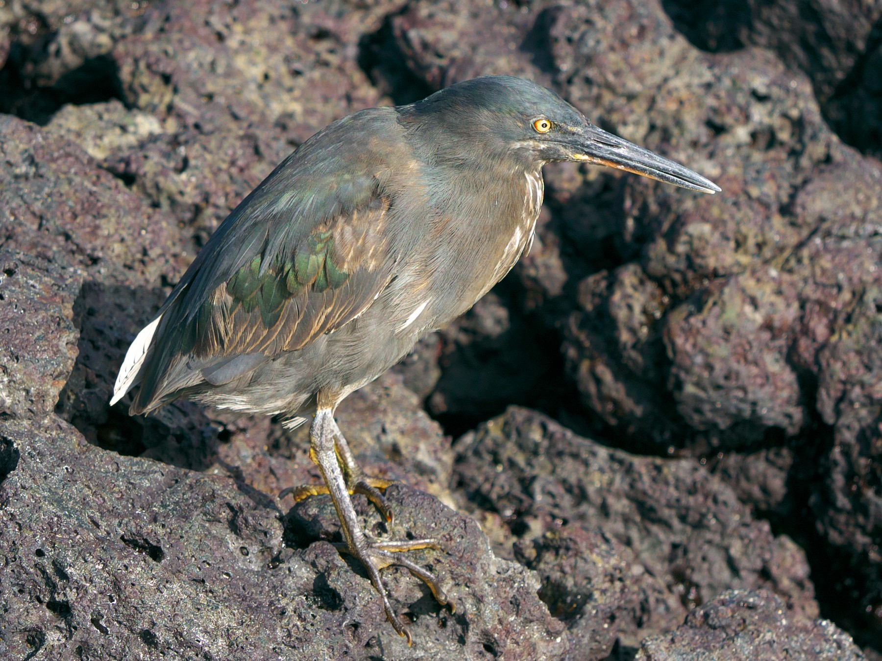 Striated Heron - Paul Tavares