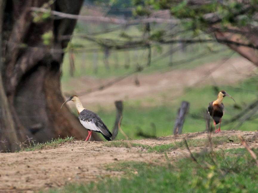 Buff-necked Ibis - Maurice Raymond