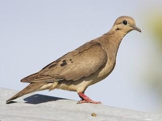 - Eared Dove