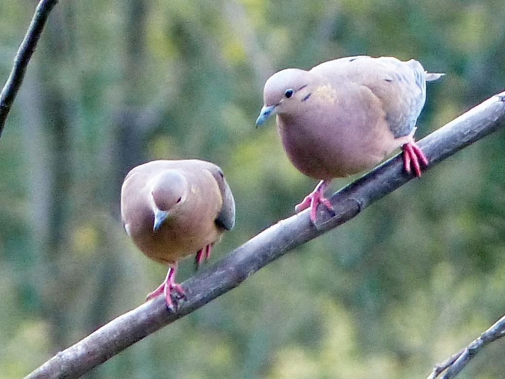 Eared Dove - David Bree