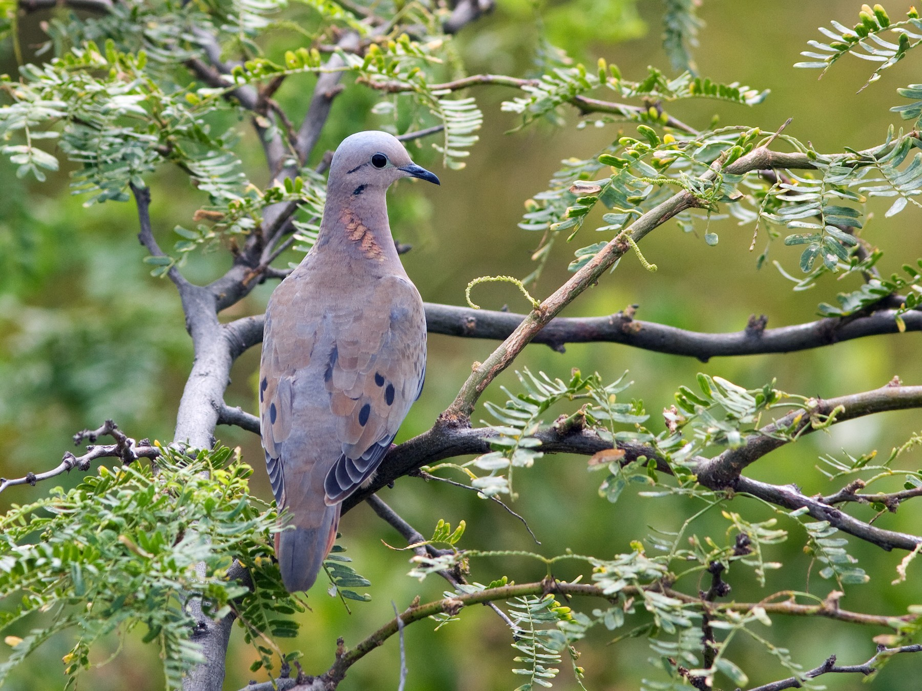 Eared Dove - David Disher