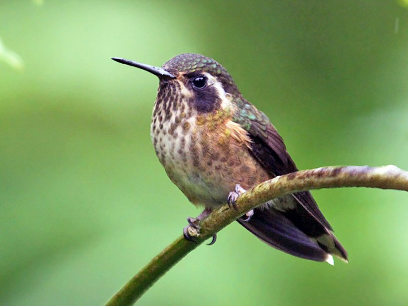 Speckled Hummingbird - Jeremiah Trimble