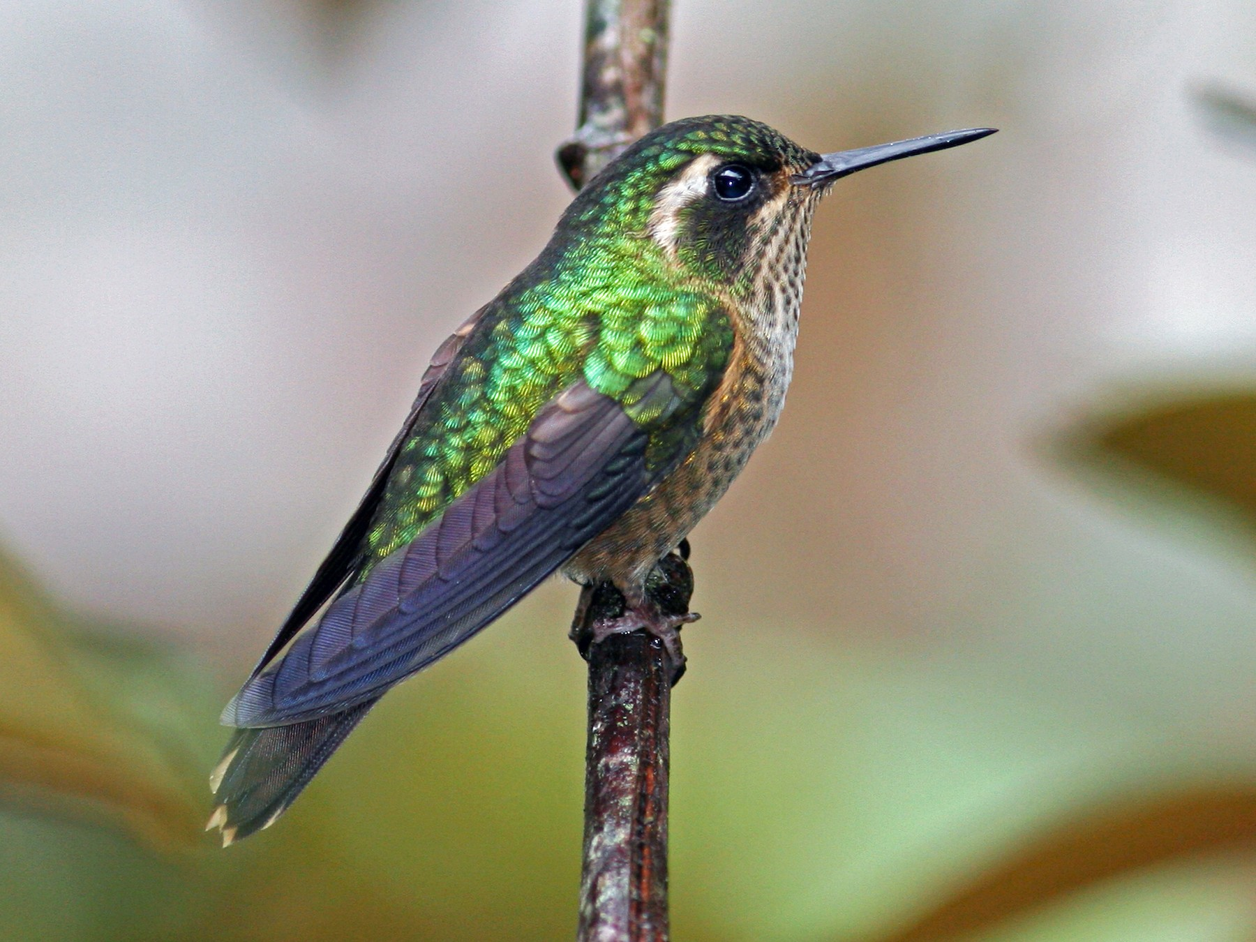 Speckled Hummingbird - David Disher