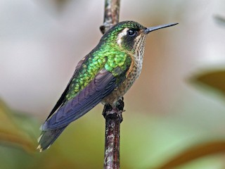 - Speckled Hummingbird