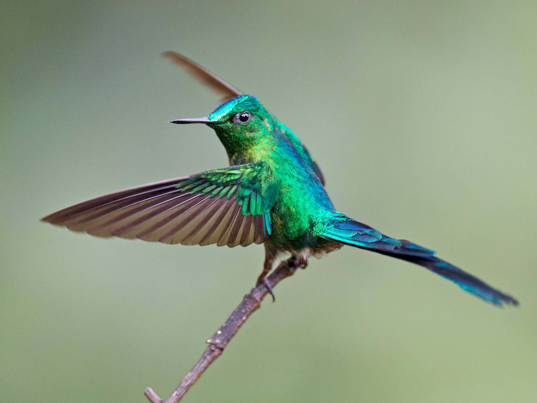 Long-tailed Sylph - Jessie Barry