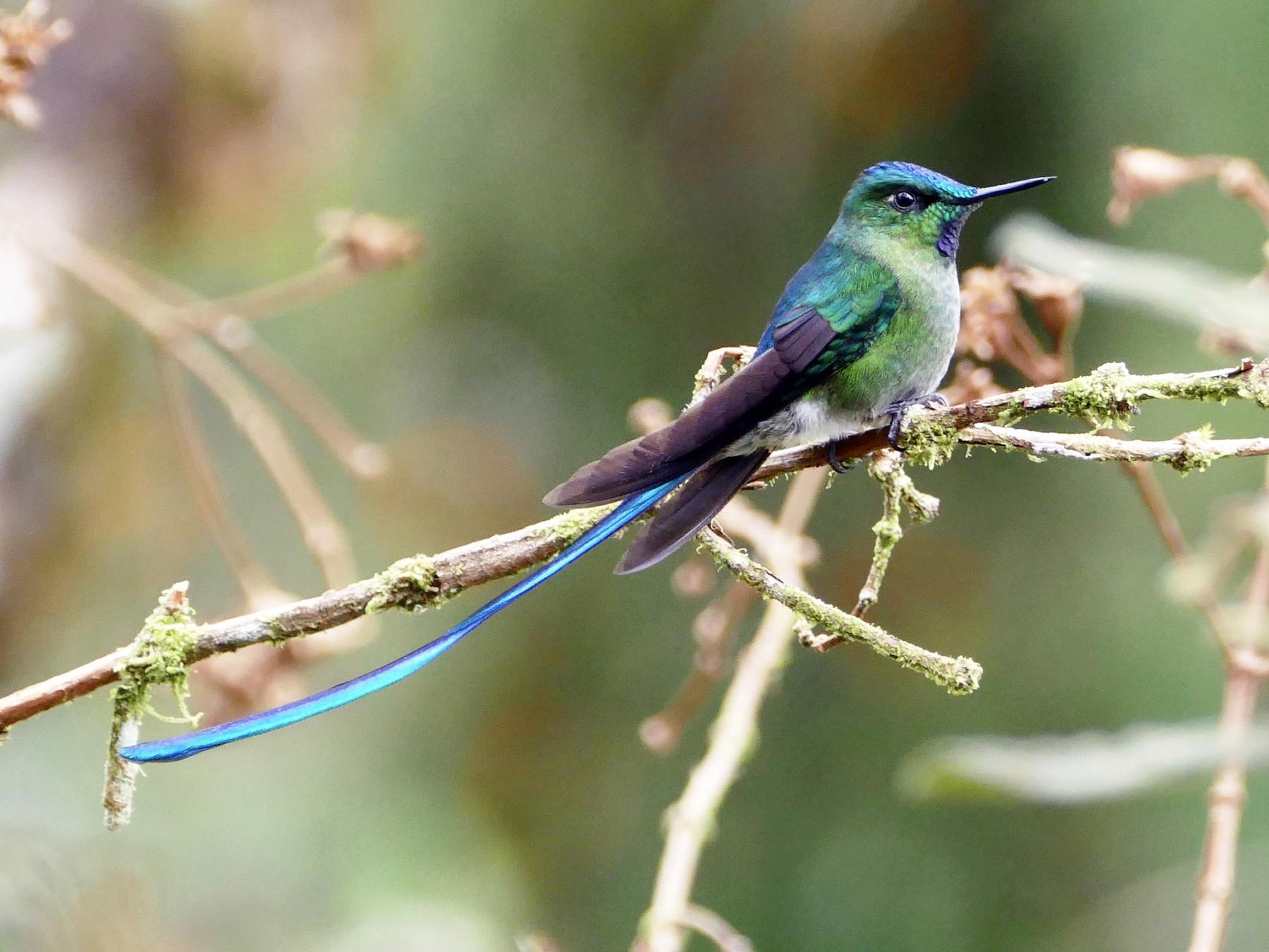 Long-tailed Sylph - Peter Kaestner