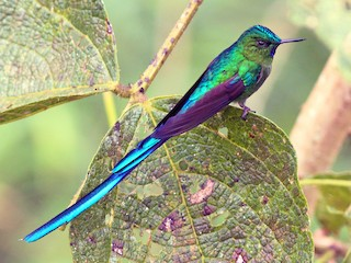 - Long-tailed Sylph