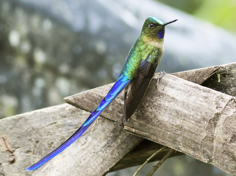 Violet-tailed Sylph - Michael Todd