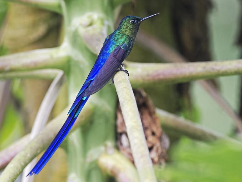 Violet-tailed Sylph - Joshua Vandermeulen
