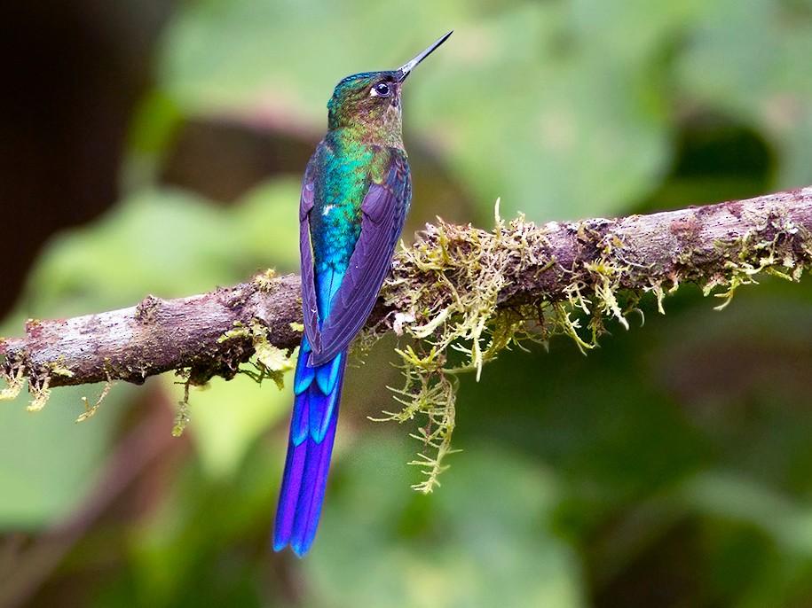Violet-tailed Sylph - Suzanne Labbé