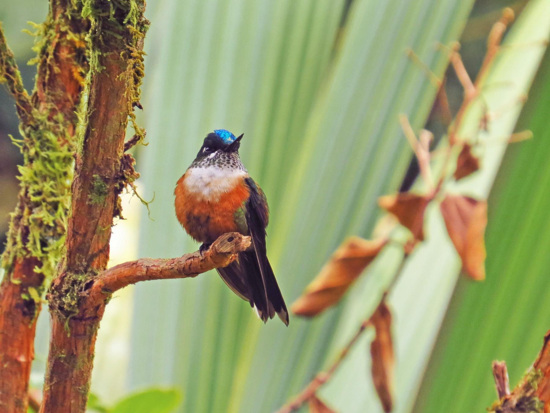 Violet-tailed Sylph - Jorge Muñoz García   CAQUETA BIRDING