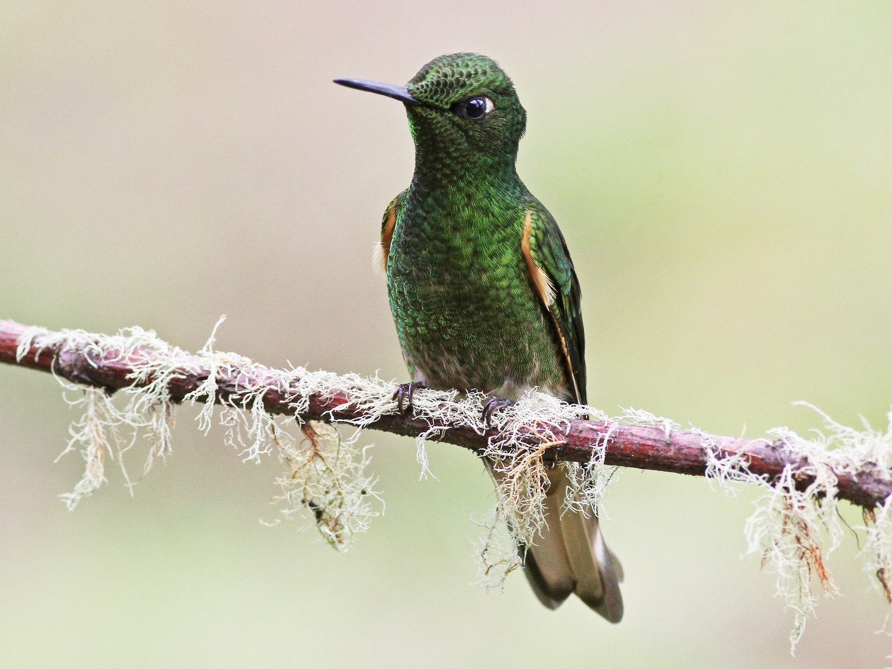Buff-tailed Coronet - Michael McCloy