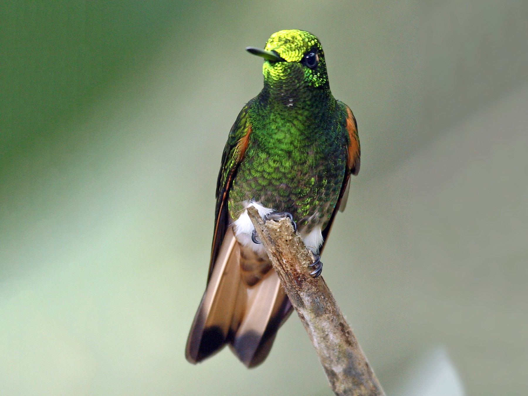 Buff-tailed Coronet - Michael Woodruff