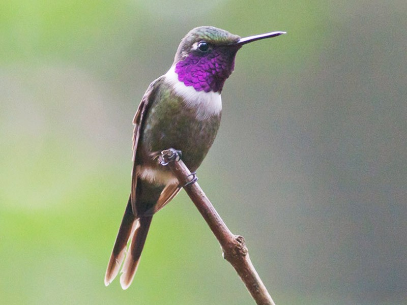 Purple-throated Woodstar - Michael Todd