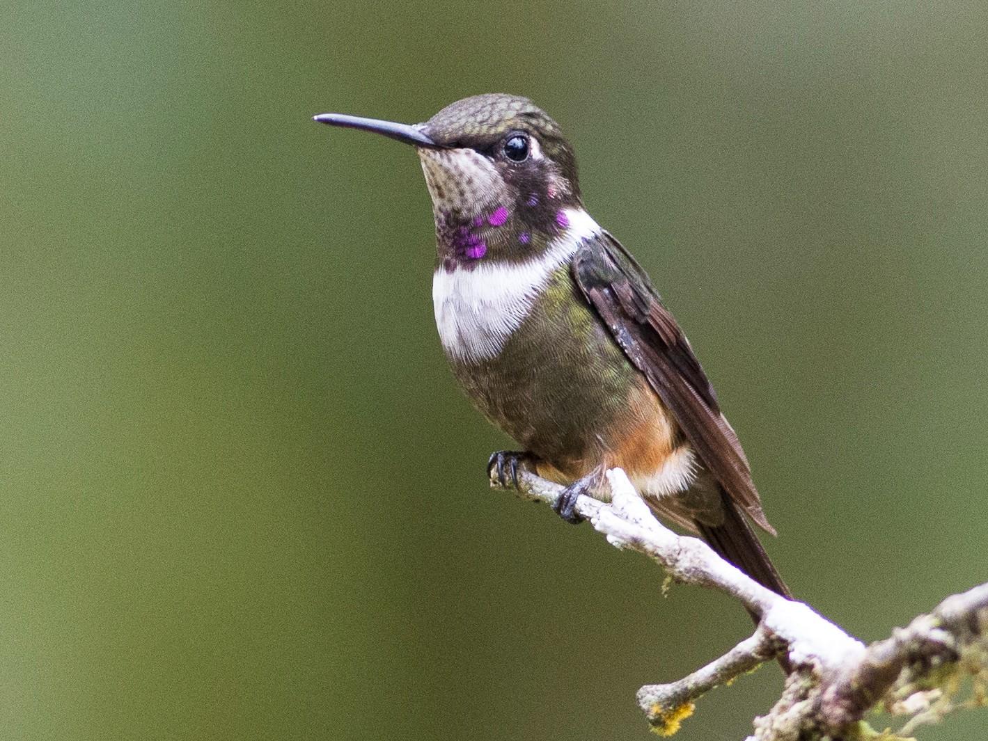 Purple-throated Woodstar - Chris Wood