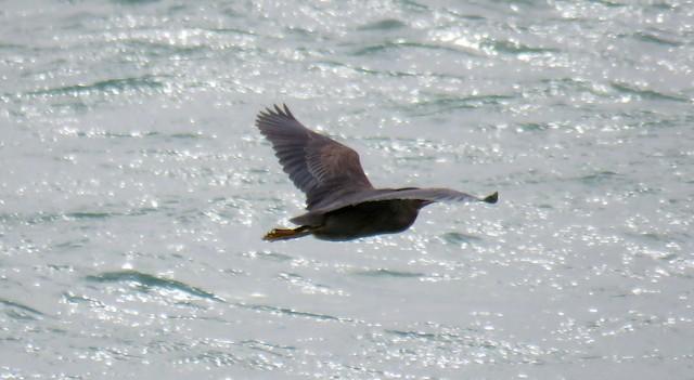 ©Miguel  Berkemeier - Striated Heron