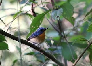 - Large Blue Flycatcher