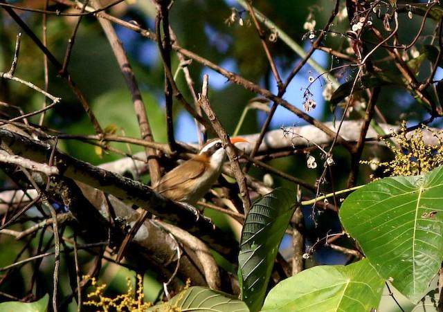 Red-billed Scimitar-Babbler