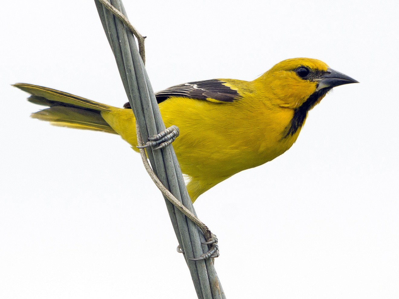 Yellow Oriole - Jerome Foster