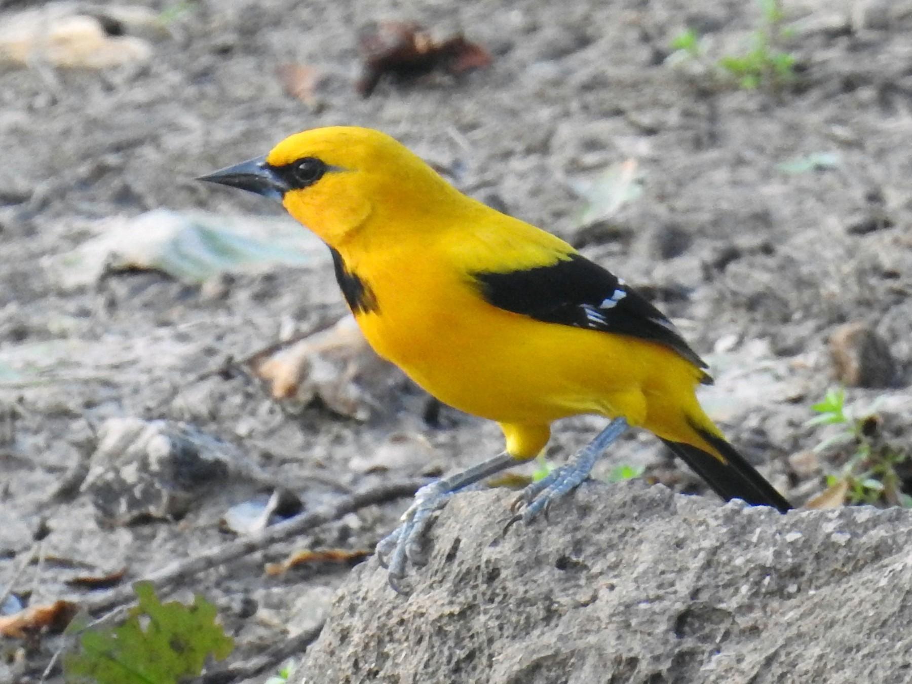 Yellow Oriole - Heidi Ware Carlisle