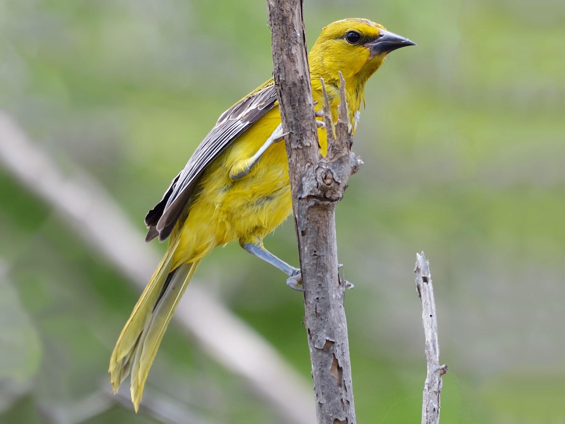 Yellow Oriole - Michiel Oversteegen