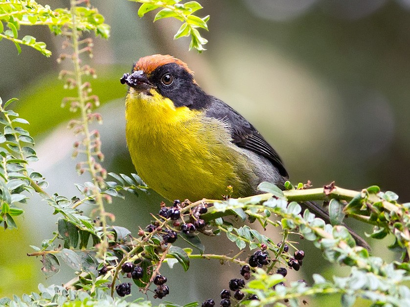 Yellow-breasted Brushfinch - Suzanne Labbé