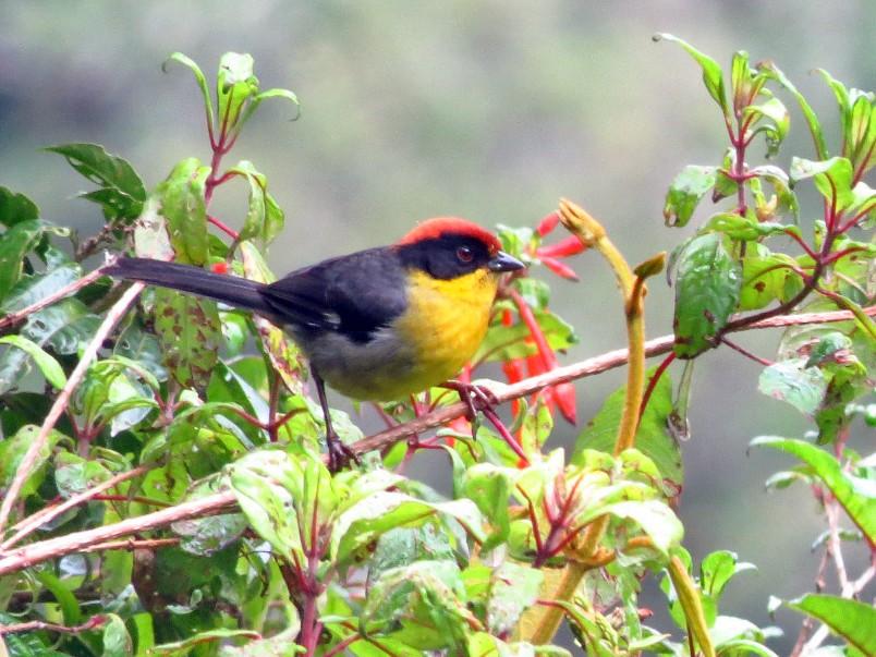 Yellow-breasted Brushfinch - Juan Sebastian Moreno