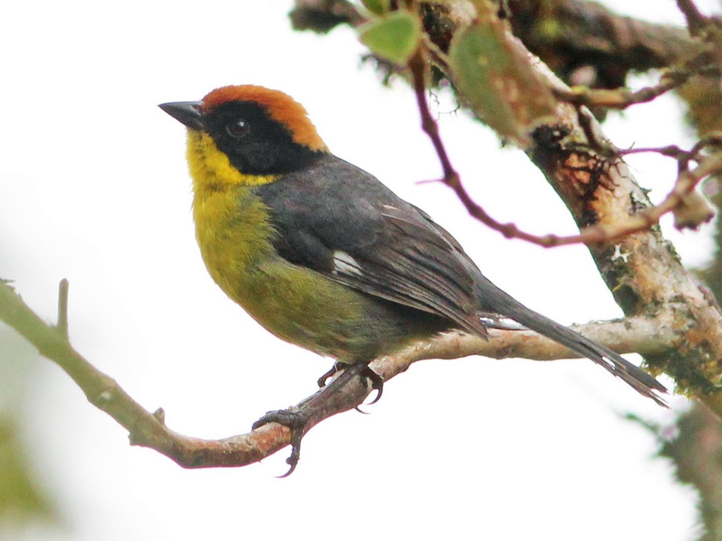 Yellow-breasted Brushfinch - Oscar  Johnson