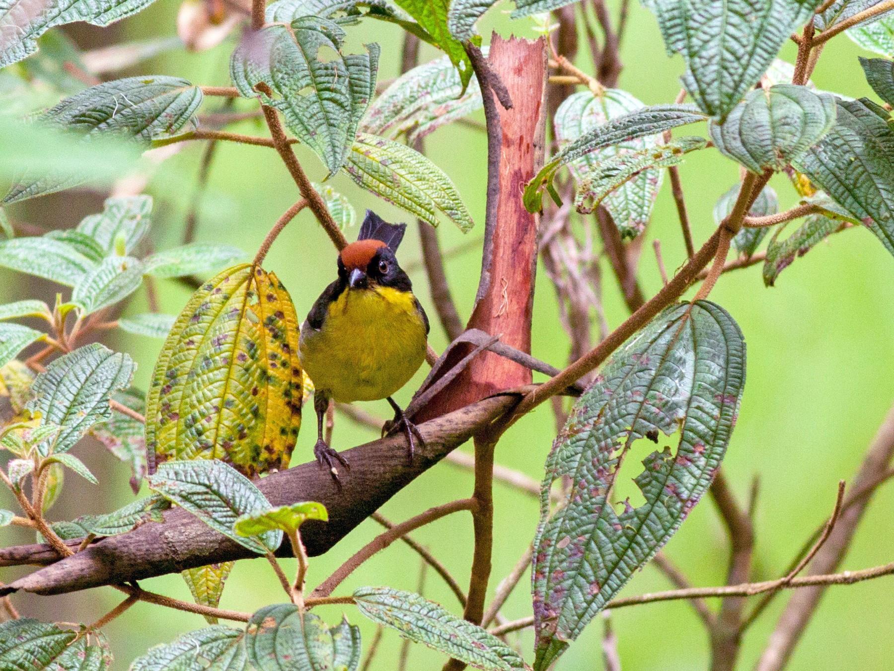 Yellow-breasted Brushfinch - Ian Davies