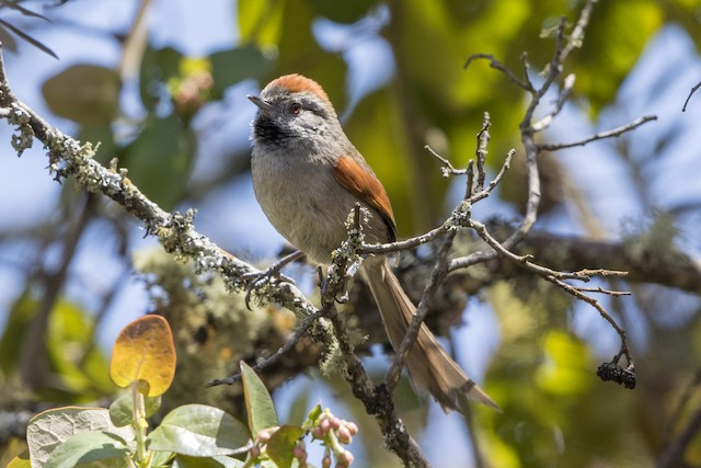 Silvery-throated Spinetail