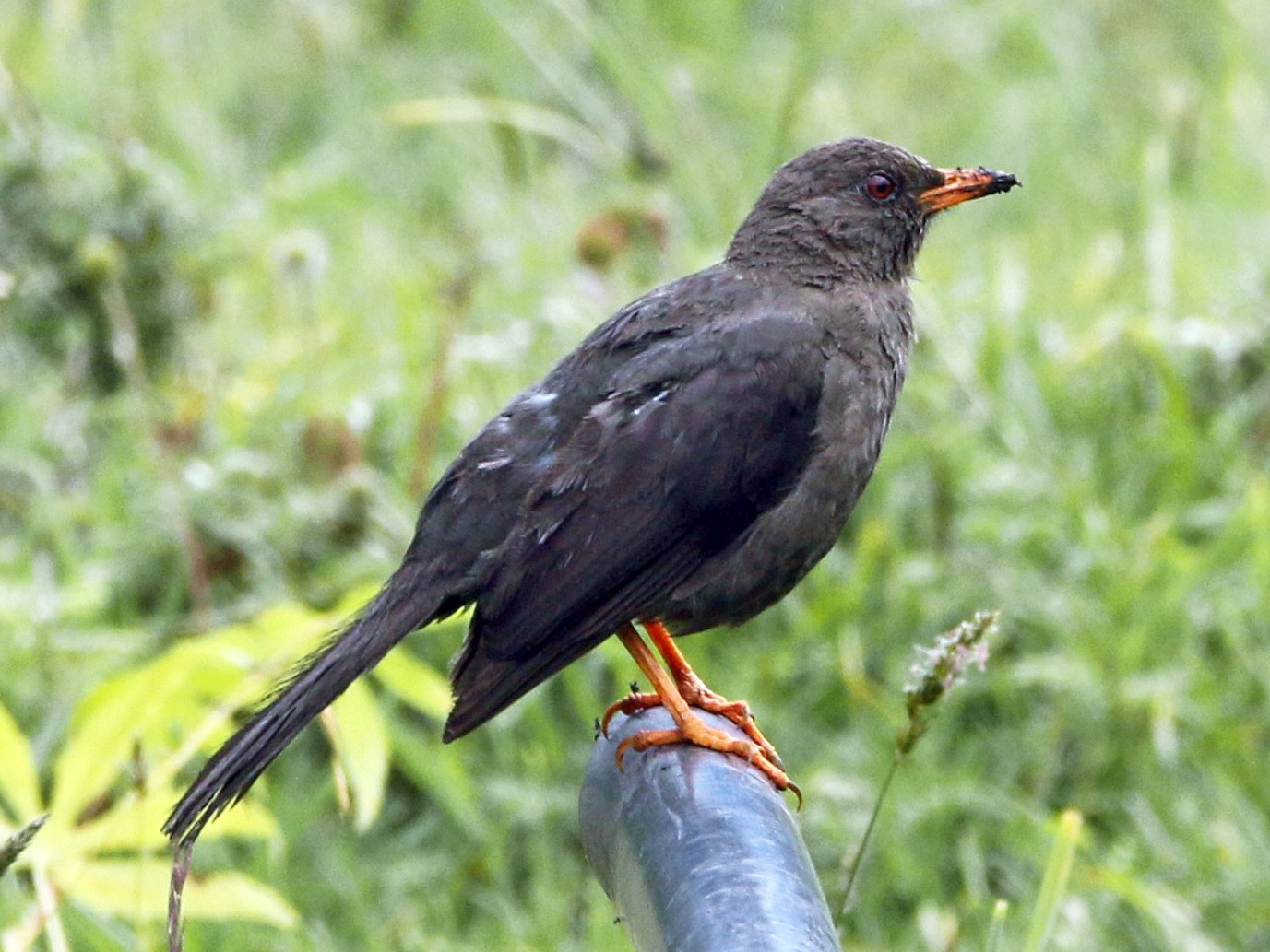 Great Thrush - Loch Kilpatrick