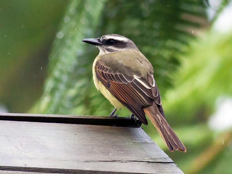 Golden-crowned Flycatcher - Michael Todd