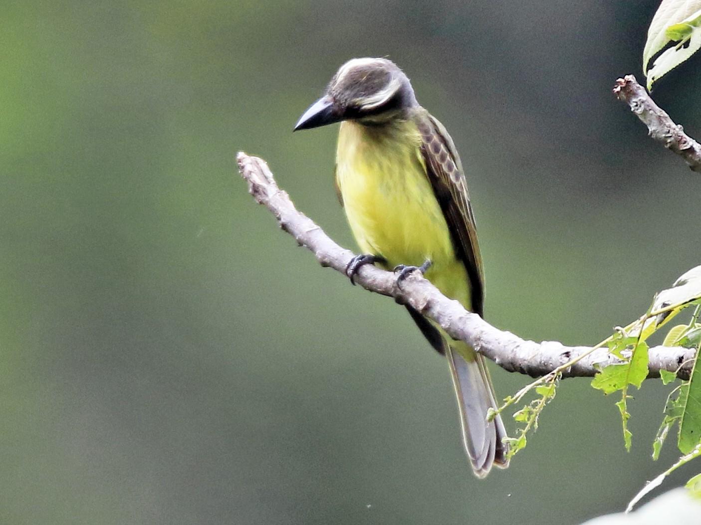 Golden-crowned Flycatcher - William Legge