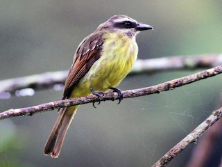 - Golden-crowned Flycatcher