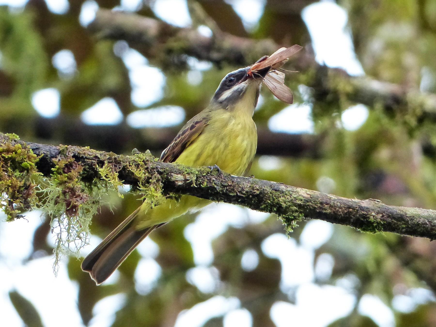 Golden-crowned Flycatcher - David Bree
