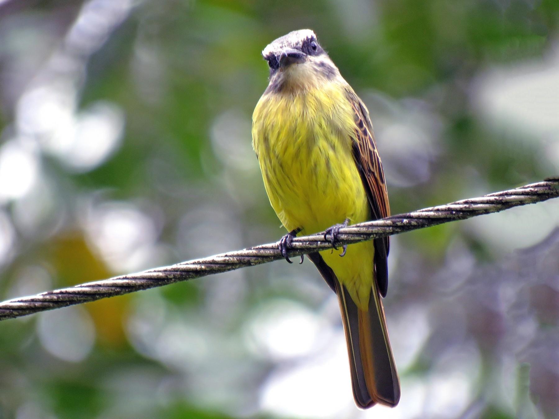 Golden-crowned Flycatcher - Edison Ocaña