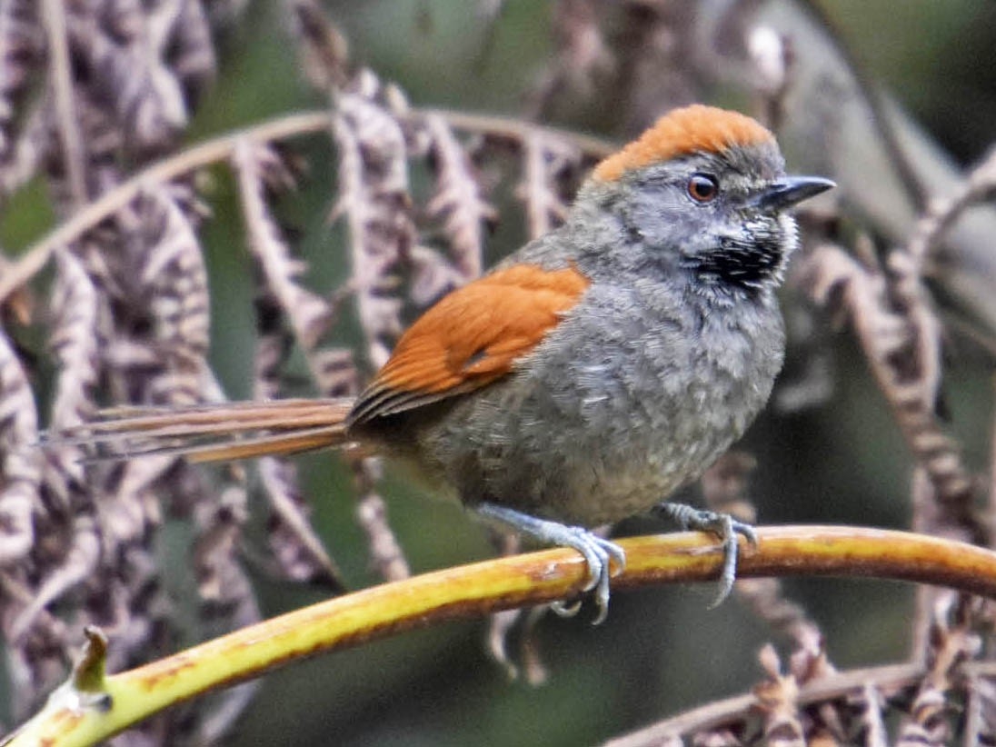 Azara's Spinetail - Tini & Jacob Wijpkema